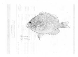 Freshwater Sunfish by MariahLynnDesign