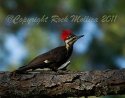 Piliated Woodpecker by SteelCowboy