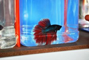 Betta Fish for export 13 by jerungan