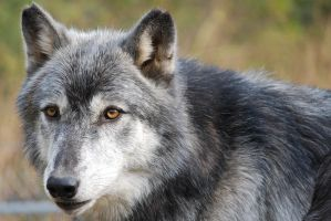 Graying Wolf Portrait 02 by ManitouWolf