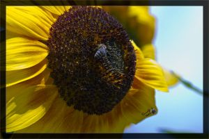Sunflower by deaconfrost78
