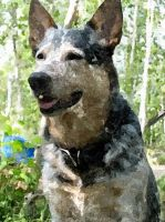 Watercolour Australian Cattle Dog by Starry-eyed-animals