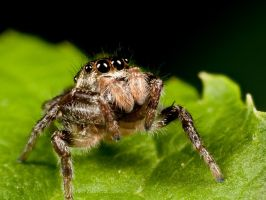 Jumping Spider 1293 by Twitch1977