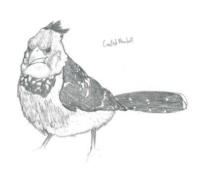 Crested Barbet Sketch by Scotocoremia