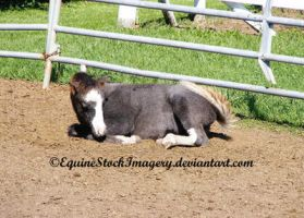 Miniature Horse 5 by EquineStockImagery