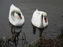 2 swans swimming by hazellucy