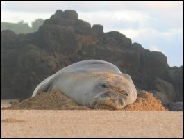 sleeping seal 3 by RandyHand