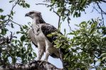 Juv Martial Eagle by AnneMarks