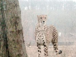 CHEETA 3 by squirrellover