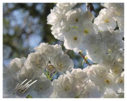Color of Spring - White by MichaiMathieu
