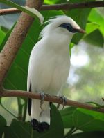 Bali Starling 01 by Ghost-Stock