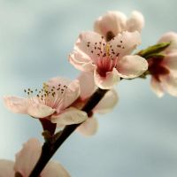 Peach Blossom I by onelook