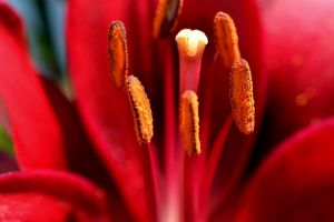 Red Asiatic Lily by WickedOwl514