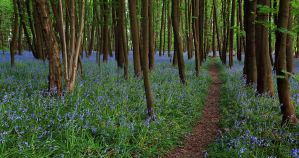 Bluebell Path by danUK86