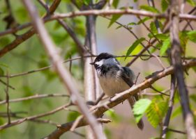Black-capped Chickadee by LakeFX