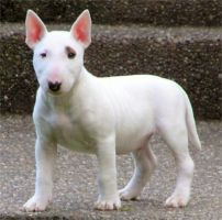 Miniature Bull Terrier Puppy by englishmissie