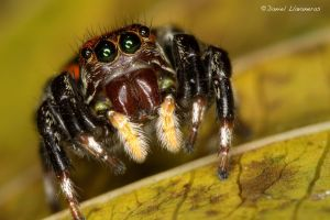 Red and black Salticidae by dllavaneras