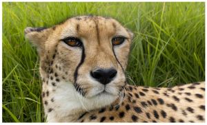Regal Cheetah by roache7