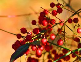 Holiday Berries by Tailgun2009