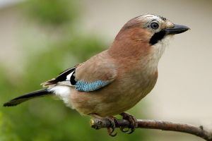 Jay ( close up a  ) by pixellence2