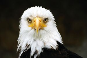 Bald Eagle - Edit by hawkeye71