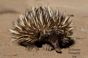 Echidna by Liz-in-BackoBourke