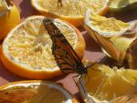 Butterfly Eating Orange by Caitlynn96