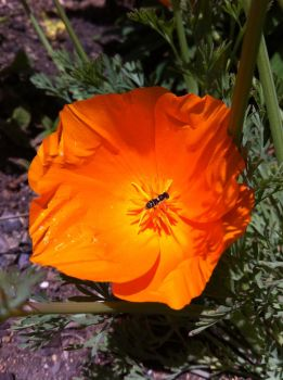 Poppy with Fly by ohallford