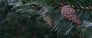 Pines by CKPhotos