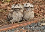 Twins.. Tawny Frogmouths by Firey-Sunset