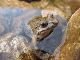 Painted Frog Close-Up by Maltese-Naturalist