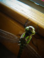 Dragonfly in the livingroom by SteffenHa