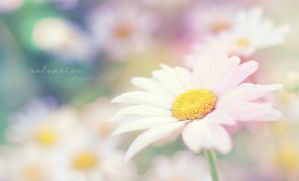 summer chamomile by Salvarion