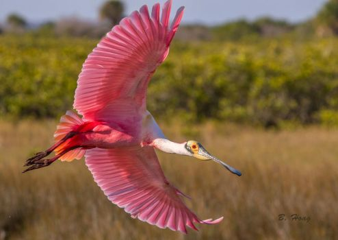 Gracefull Spoonbill by Grouper
