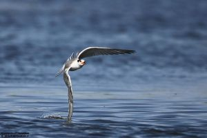 Sterna hirundo by RichardConstantinoff