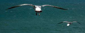 Gulls over the Atlantic by drewii57