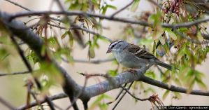 Chipping Sparrow by floggerSG