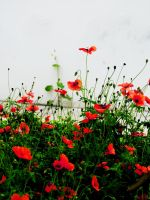 Corn-poppies of our Yard by XaabShaydAtashoub