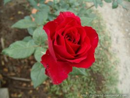 Red Rose by ToS2sEnd