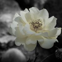 The Yellow Rose of Clarence 01 by tmfNeurodancer