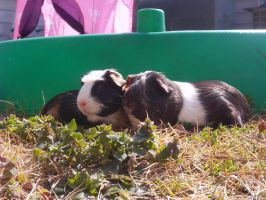 Guinea Pigs cuddle on grass stock by Stock-Tenchigirl15
