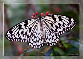 Rice Paper Butterfly by RoyallyCrimson