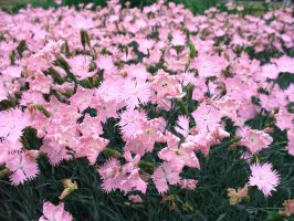 Pink Field by Nept