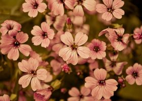 Pink Flowers by tidwyer