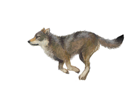 a running wolfie by catrin1