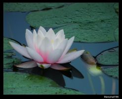 Water Lily by marschall196