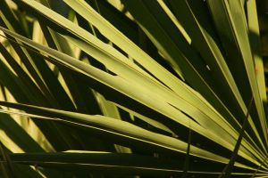 Palm Leaf 02 by Furaha015