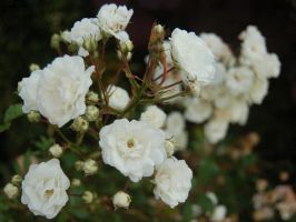 White Flowers by ewensimpson
