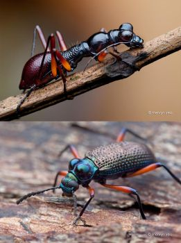 Darkling Beetle with fake eyes by melvynyeo
