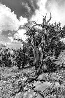 Bristlecone pines #2 by chuckplumber